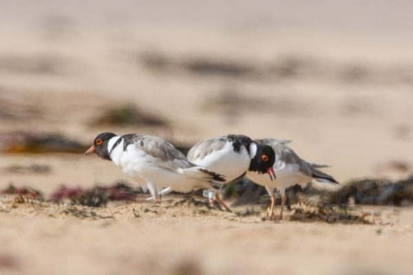 CAROLE-HOODED-PLOVERS1
