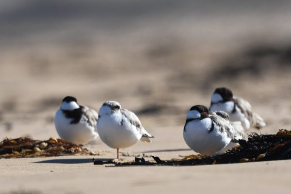 CAROLE-HOODED-PLOVERS10