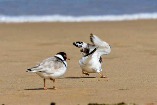 CAROLE-HOODED-PLOVERS100