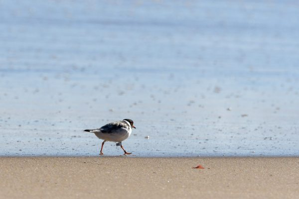 CAROLE-HOODED-PLOVERS101