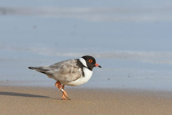 CAROLE-HOODED-PLOVERS103