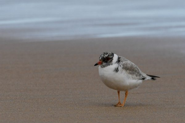 CAROLE-HOODED-PLOVERS106