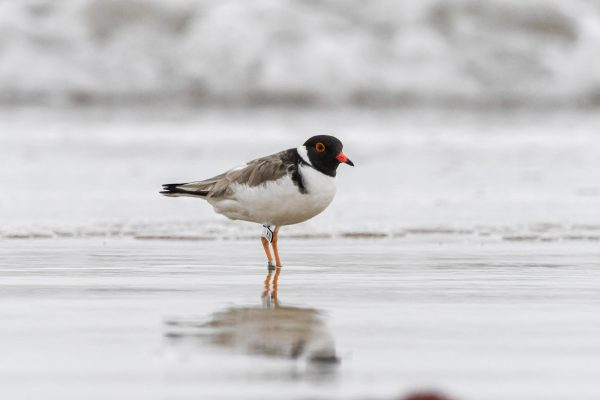 CAROLE-HOODED-PLOVERS107