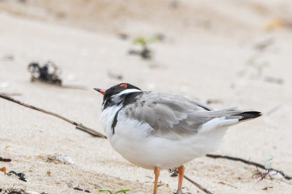 CAROLE-HOODED-PLOVERS109