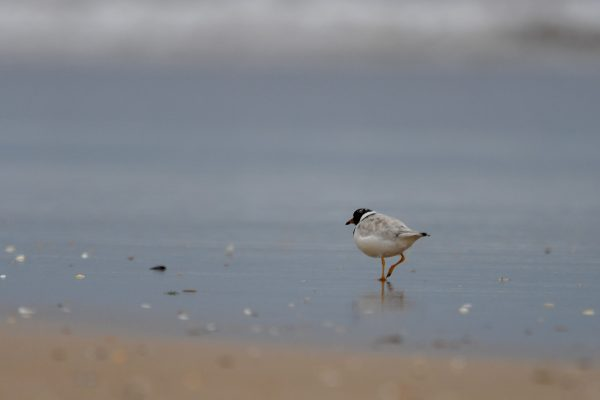 CAROLE-HOODED-PLOVERS11