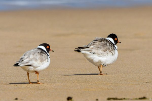 CAROLE-HOODED-PLOVERS111