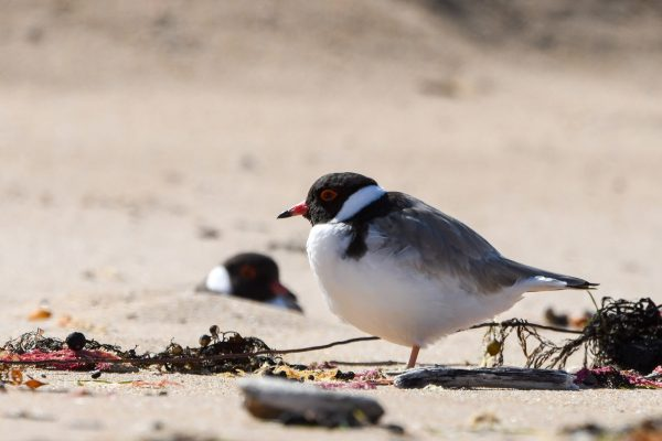 CAROLE-HOODED-PLOVERS112