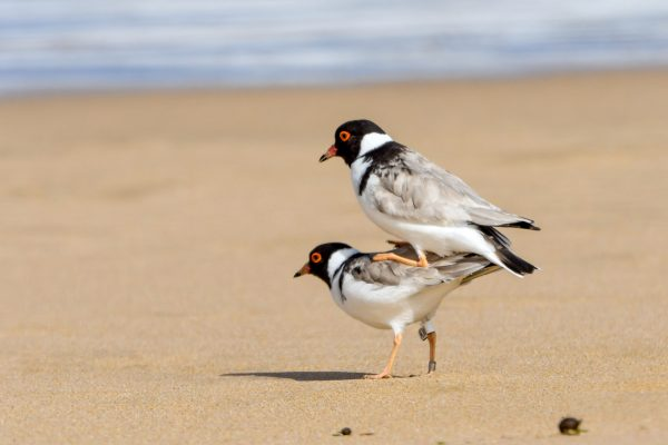 CAROLE-HOODED-PLOVERS113