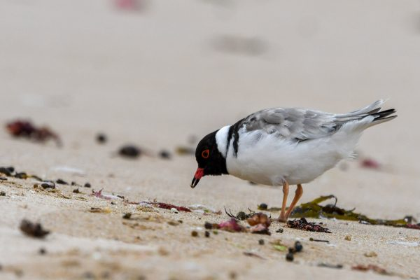 CAROLE-HOODED-PLOVERS115