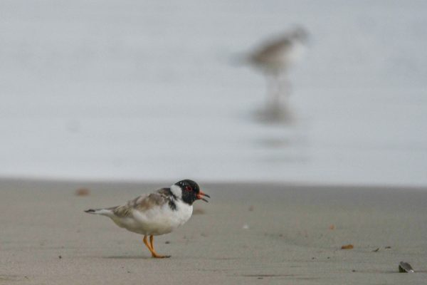 CAROLE-HOODED-PLOVERS117