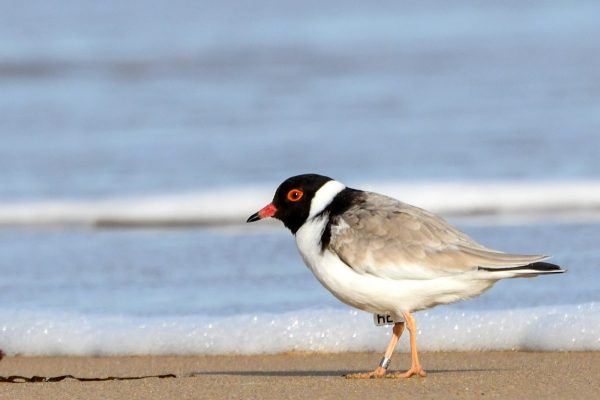 CAROLE-HOODED-PLOVERS118