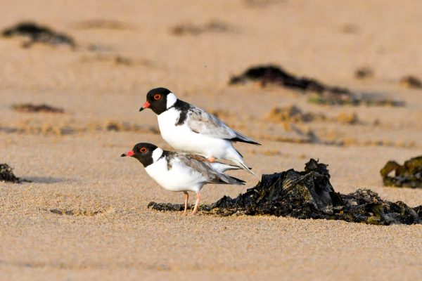 CAROLE-HOODED-PLOVERS119