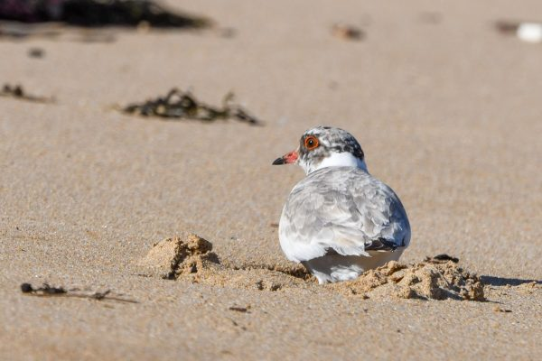 CAROLE-HOODED-PLOVERS12