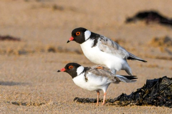 CAROLE-HOODED-PLOVERS121