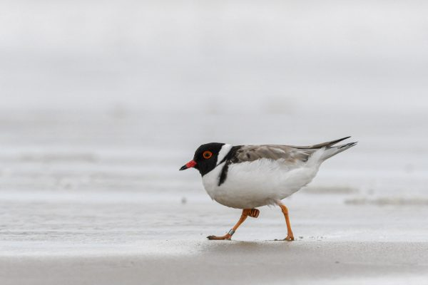 CAROLE-HOODED-PLOVERS124