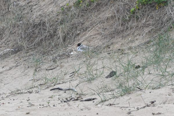CAROLE-HOODED-PLOVERS126
