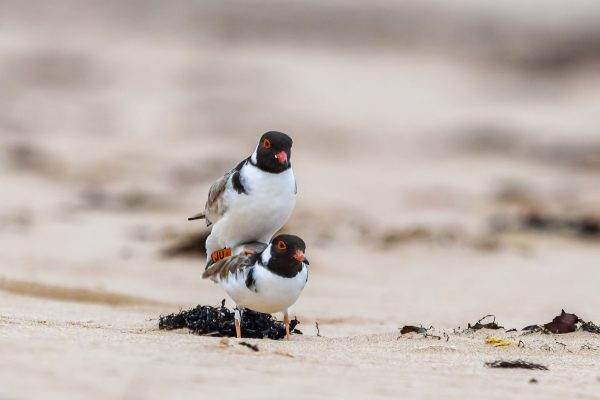 CAROLE-HOODED-PLOVERS127