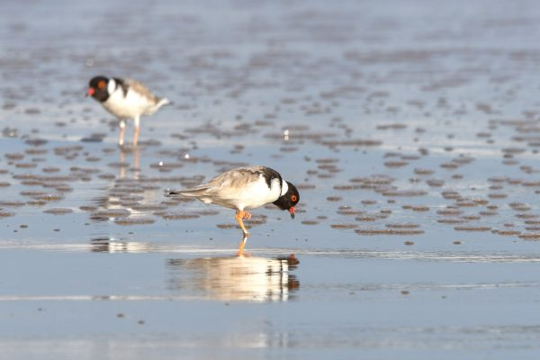 CAROLE-HOODED-PLOVERS130