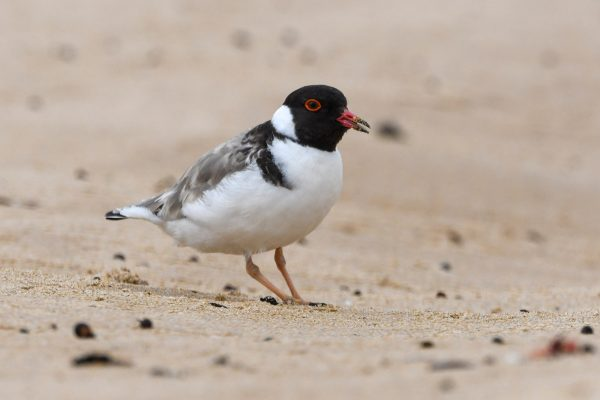 CAROLE-HOODED-PLOVERS131