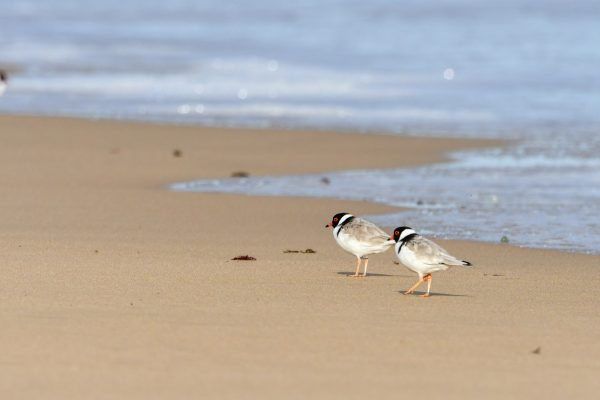 CAROLE-HOODED-PLOVERS132