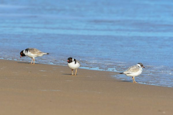 CAROLE-HOODED-PLOVERS134