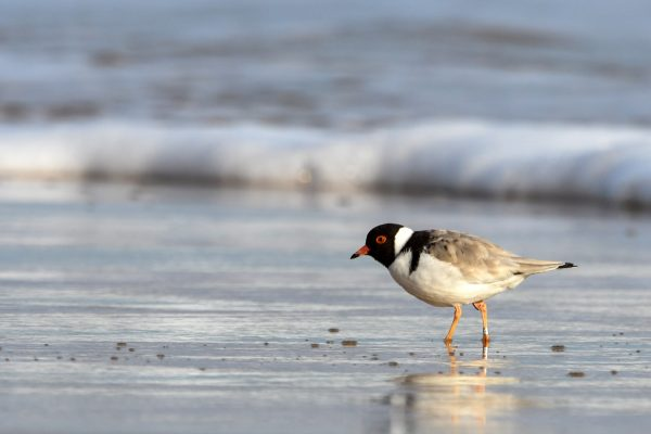 CAROLE-HOODED-PLOVERS137