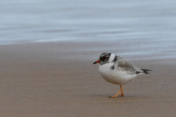 CAROLE-HOODED-PLOVERS138