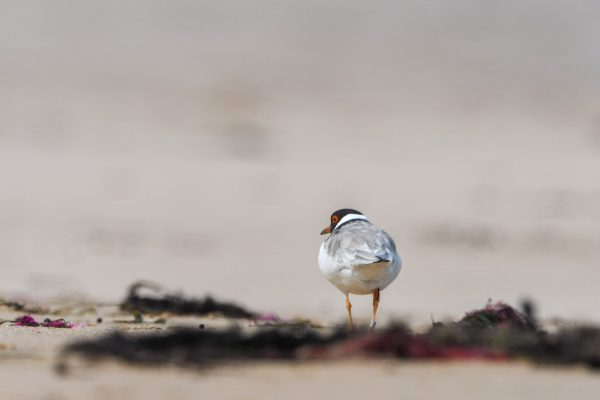 CAROLE-HOODED-PLOVERS139