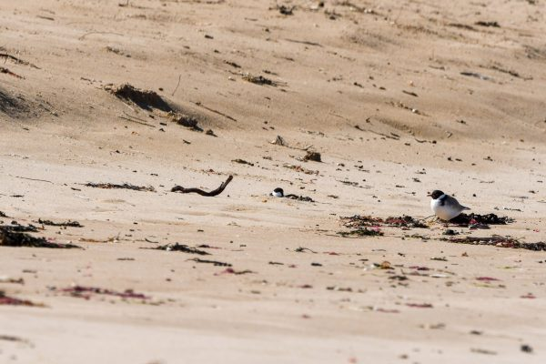 CAROLE-HOODED-PLOVERS14