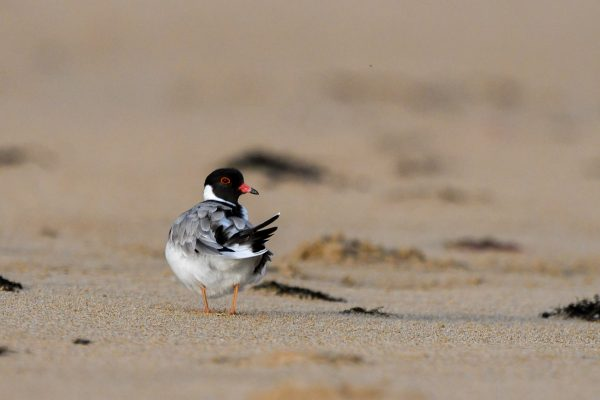 CAROLE-HOODED-PLOVERS140