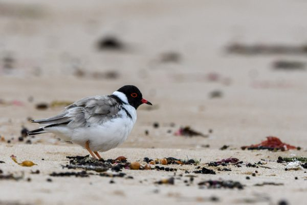 CAROLE-HOODED-PLOVERS141