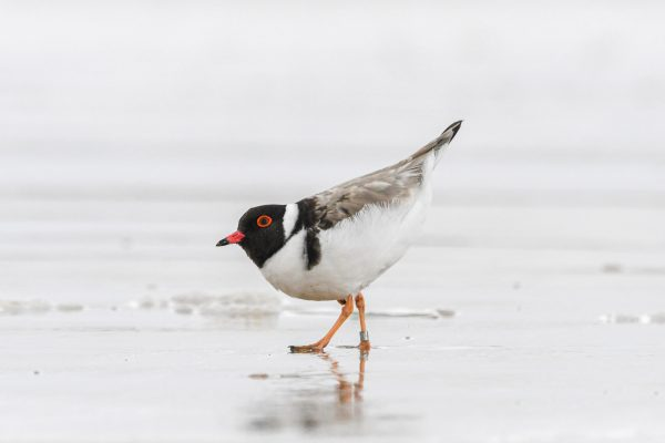CAROLE-HOODED-PLOVERS15