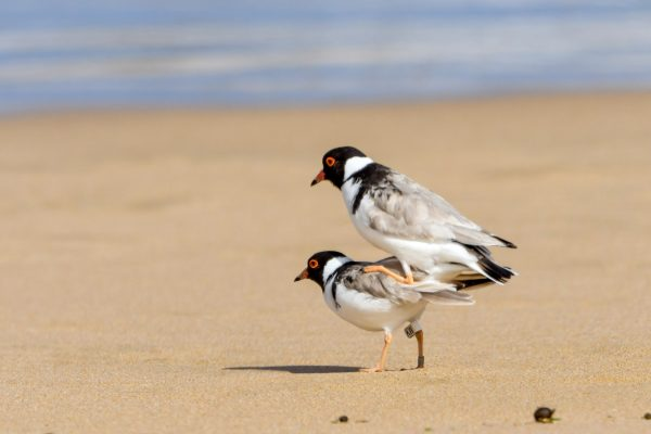 CAROLE-HOODED-PLOVERS16