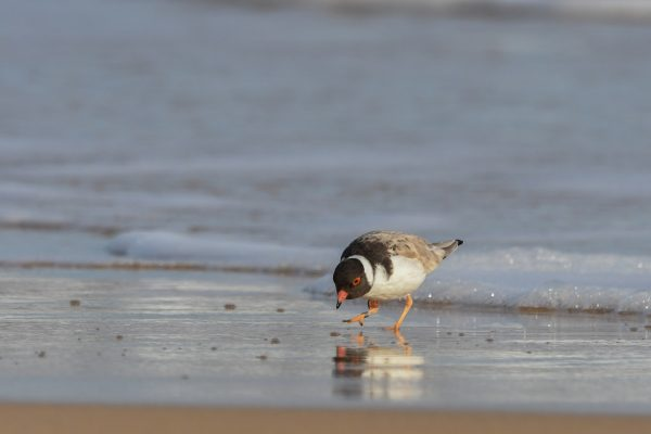 CAROLE-HOODED-PLOVERS17