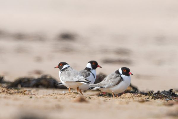 CAROLE-HOODED-PLOVERS18