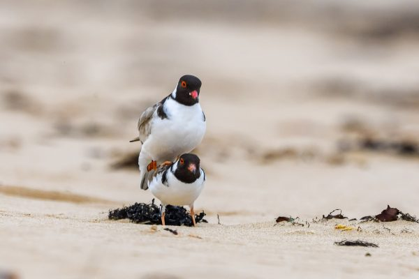 CAROLE-HOODED-PLOVERS19