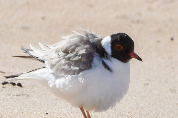 CAROLE-HOODED-PLOVERS20