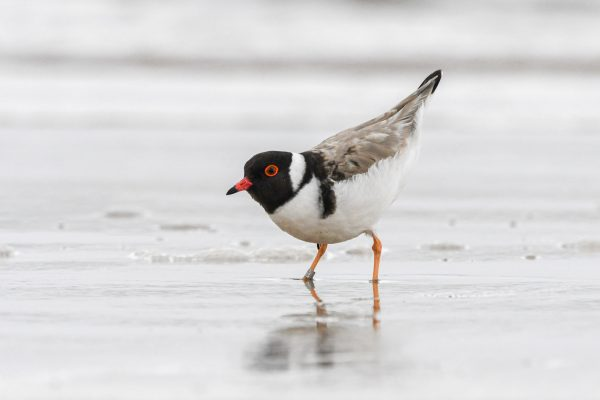 CAROLE-HOODED-PLOVERS22