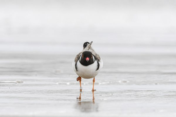 CAROLE-HOODED-PLOVERS23