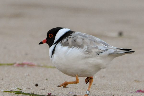 CAROLE-HOODED-PLOVERS24