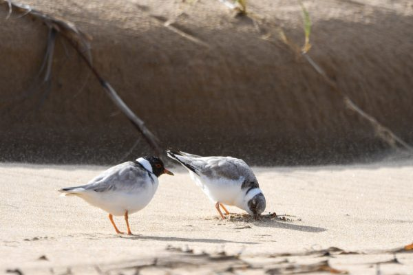 CAROLE-HOODED-PLOVERS25