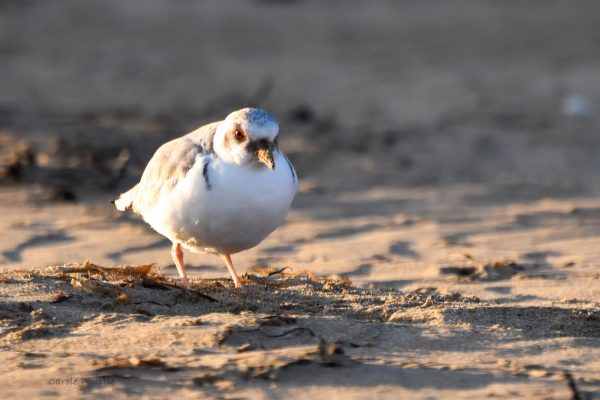CAROLE-HOODED-PLOVERS26