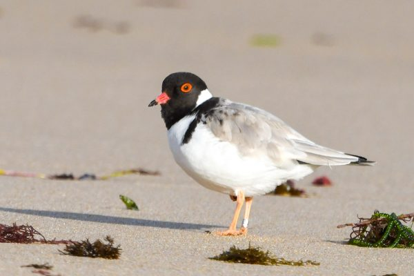 CAROLE-HOODED-PLOVERS27