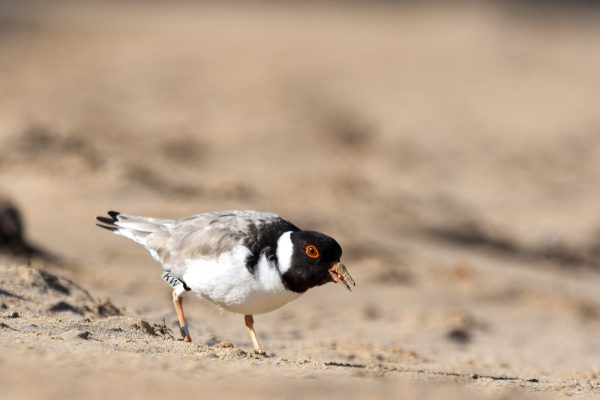 CAROLE-HOODED-PLOVERS28