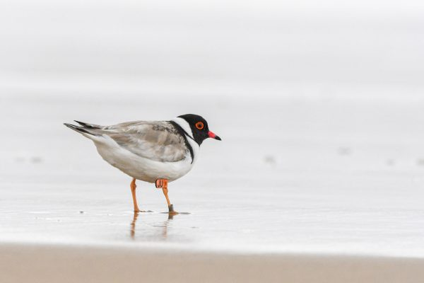 CAROLE-HOODED-PLOVERS29