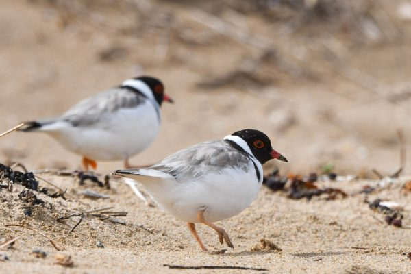 CAROLE-HOODED-PLOVERS30