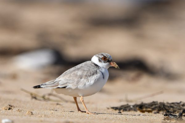 CAROLE-HOODED-PLOVERS31
