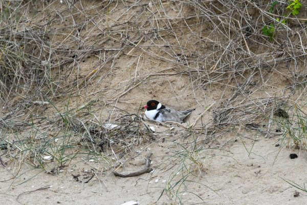 CAROLE-HOODED-PLOVERS32