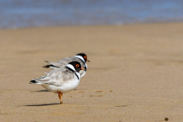 CAROLE-HOODED-PLOVERS33