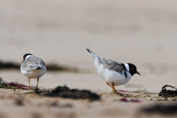 CAROLE-HOODED-PLOVERS34